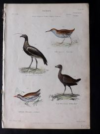 Richardson 1862 HC Bird. Horned Screamer, Water Rail, Gallinule, Sultana Bird